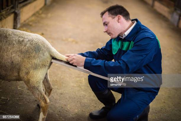 veterinarian examining sheep in barn - cream colored shoe stock pictures, royalty-free photos & images
