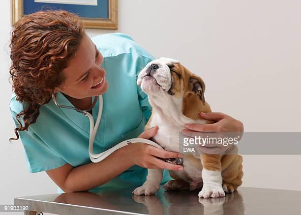 veterinarian examining smiling bulldog puppy - 獣医 ストックフォトと画像
