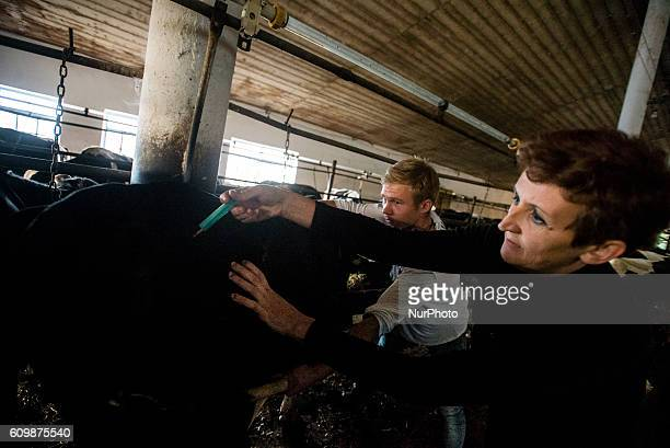 Veterinarian gives an injection to a cow in a cowshed at the Nikitin kolkhoz in Ivanovka village Azerbaijan Ivanovka is a village with mainly Russian...