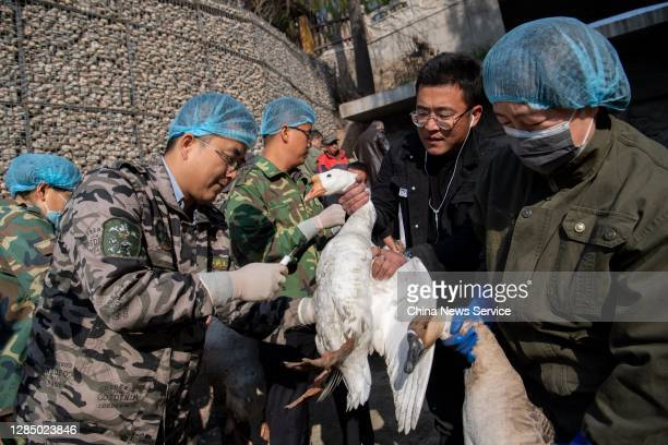 Veterinarian injects avian flu vaccine into a goose at the Taiyuan Zoo on November 10, 2020 in Taiyuan, Shanxi Province of China.