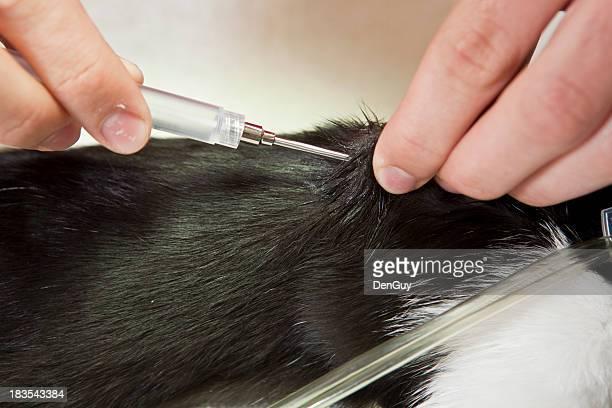 Tierarzt verpasst Microchip in Cat
