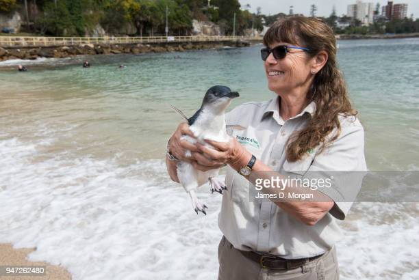Veterinarian Libby Hall holds one of the five Little Penguins before release back into the water at Shelly Beach on April 17 2018 in Sydney Australia...