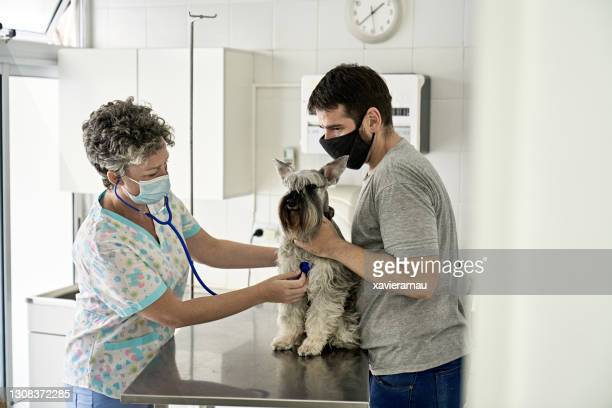veterinarian listening to dog heartbeat in time of covid-19 - schnauzer stock pictures, royalty-free photos & images