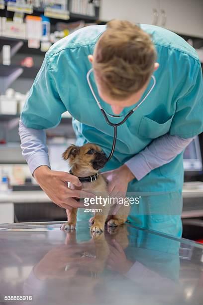 Veterinarian listening to puppies heartbeats