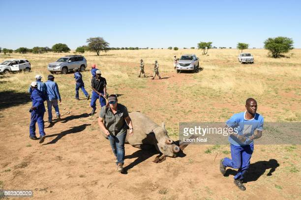 Veterinarian Michelle Otto makes a fast getaway with farm workers from a black rhino as it begins to recover from the effects of a tranquiliser dart...