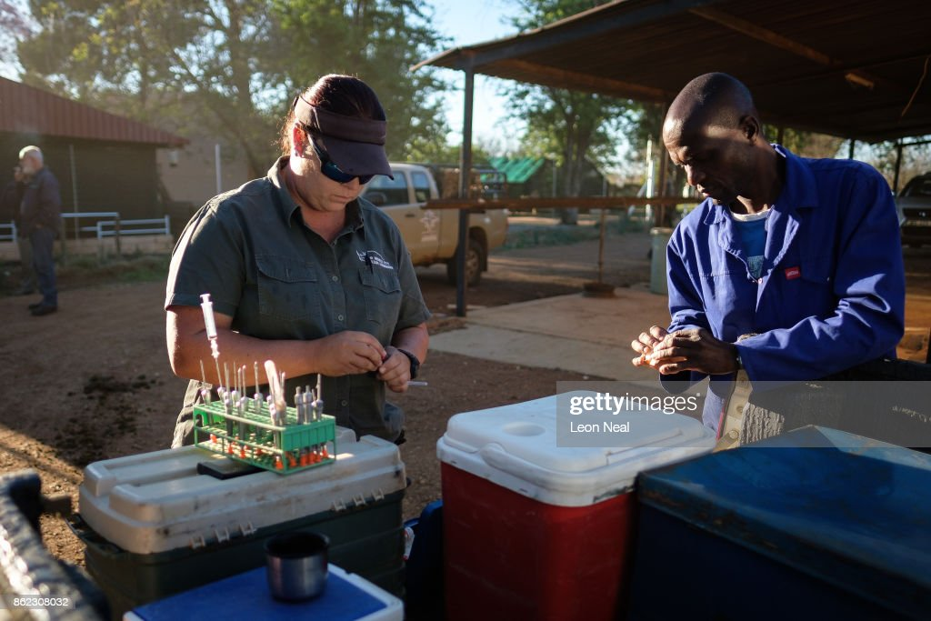 Veterinarian Michelle Otto (L) prepares the tranquiliser darts ahead of a day of horn trimming at the ranch of rhino breeder John Hume, on October 16, 2017 in the North West Province of South Africa. John Hume is currently the owner of around 1500 white and black rhinos, which he keeps under armed guard on his 8000 hectare property. In a bid to prevent poaching and conserve the different species of rhino, the horns of the animals are regularly trimmed, with 264 of the off-cuts recently being placed on sale at auction. The controversial decision to sell the horns was made on the basis that the illegal market creates an inflated value, while a controlled system would lower the prices and the need to poach. Mr Hume believes that the only way to ensure that the rhino does not become extinct is through farming the animals on a large scale and legalising the sale of rhino horn globally.