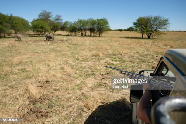 Veterinarian Michelle Otto prepares to fire a tranquiliser dart at a rhino before it has it's horn trimmed at the ranch of rhino breeder John Hume on...