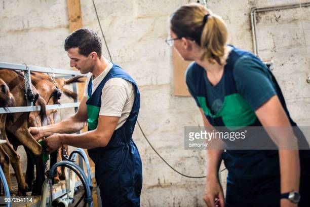 veterinarian milking goat - man milking woman stock photos and pictures