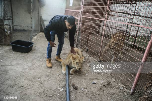 A veterinarian of Four Paws which is a global and independent organization for defending animal rights sedates a lion in his arms during a...