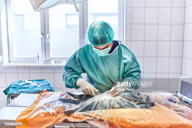 veterinarian operating a cat in animal hospital - castration stock pictures, royalty-free photos & images