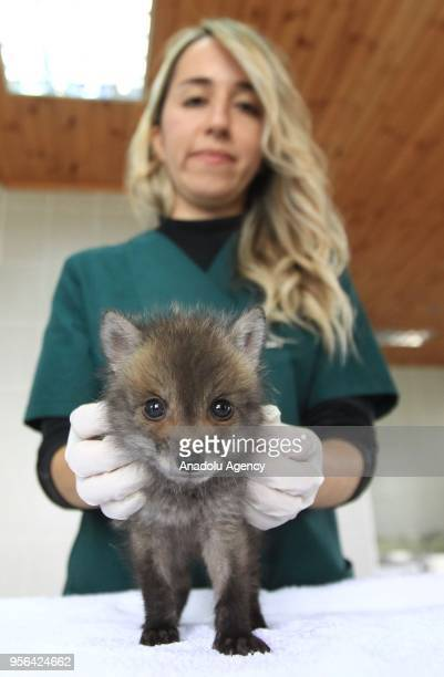 Veterinarian Paria Tabatabaei responsible for the Veterinary Clinic of Samsun Metropolitan Municipality feeds a fox cub with a baby's bottle at the...