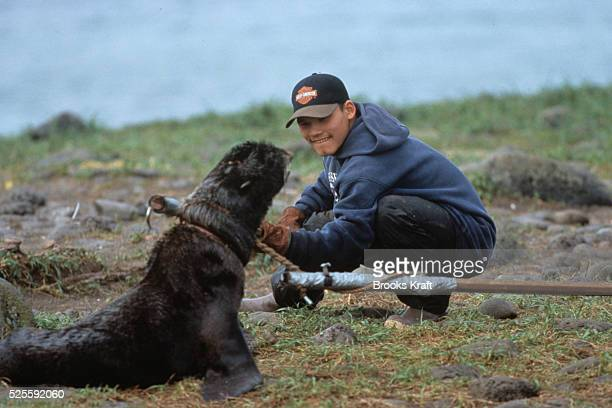 Veterinarian removes fishing lines tied around a Northern Fur Seals on the beach at St. Paul Island in The Pribilof Islands, Alaska. Northern fur...