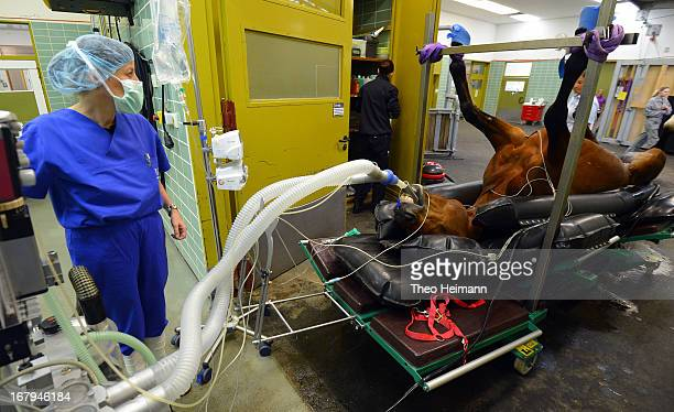Veterinarian technician Annette Ziesche prepares a horse for castration at the Dueppel animal clinic on April 25 2013 in Berlin Germany The Dueppel...