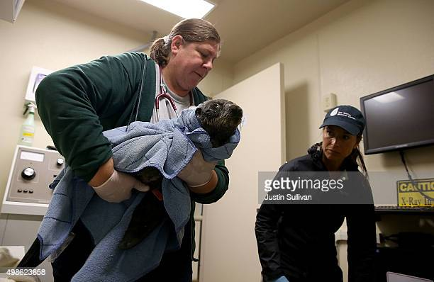 Veterinarian technician Cara Field carries a sick and malnourished Northern Fur Seal pup during a medical evaluation at the Marine Mammal Center on...