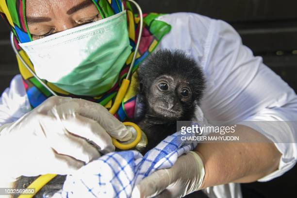 TOPSHOT A veterinarian tends to a rescued baby black gibbon at a local nature conservation agency's office in Banda Aceh Aceh province on September...