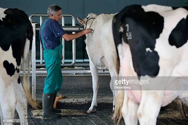 A veterinarian uses a stethoscope to check a sick milk cow in a barn at the Blanca From The Pyrenees dairy farm partnered with Ponderosa Holsteins in...