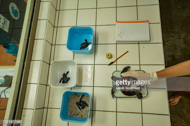 A veterinarian weighs green sea turtles at the sea turtle care center of the Intercontinental Beachcomber Hotel on March 02 Moorea French Polynesia...