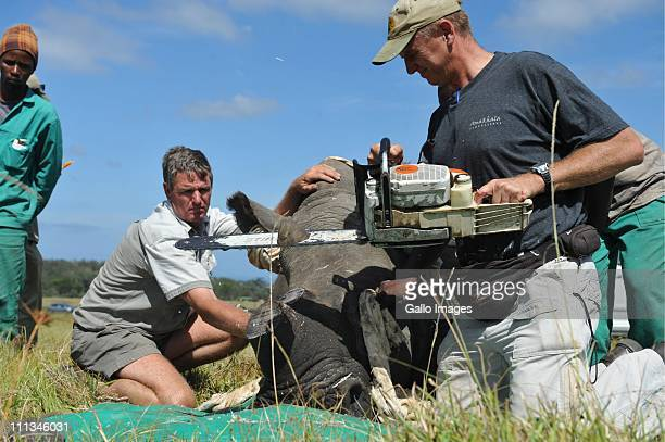 Veterinarian William Fowlds saws off the horn of a rhinocerous while game ranger Mof Swanepoel restrains her at the Kragga Kamma Game Park on March...