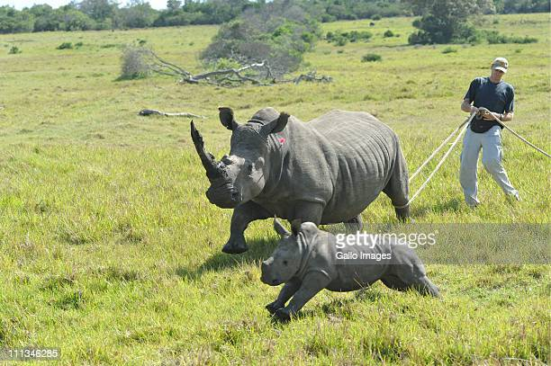 Veterinarian William Fowlds tries to restrain a rhinoceros to saw off her horn at the Kragga Kamma Game Park on March 30 2011 in Port Elizabeth South...