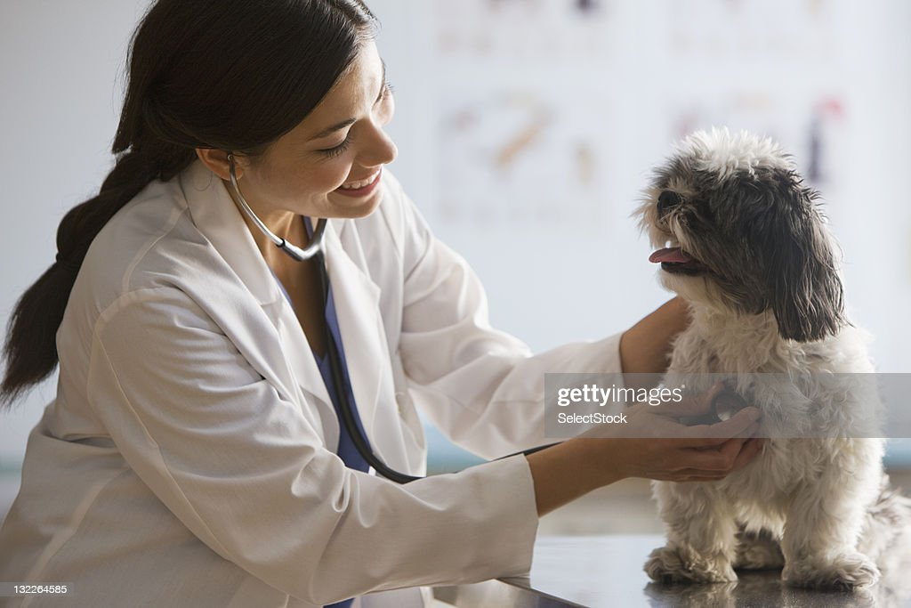 Veterinarian with stethoscope on dog : Stock Photo