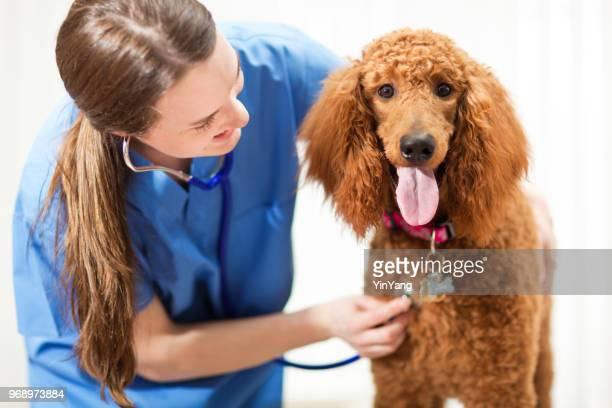 veterinário trabalhando com cachorro na clínica veterinária animal - poodle - fotografias e filmes do acervo