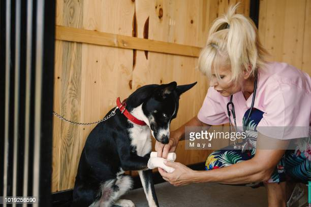 veterinarian works at doggie daycare - bandage stock photos and pictures