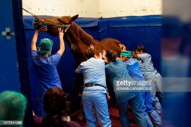 Veterinarians and medical staff members of the equine clinical unit 'Clinequine' hold a horse as they anaesthetize it on November 20 in MarcyL'Etoile...