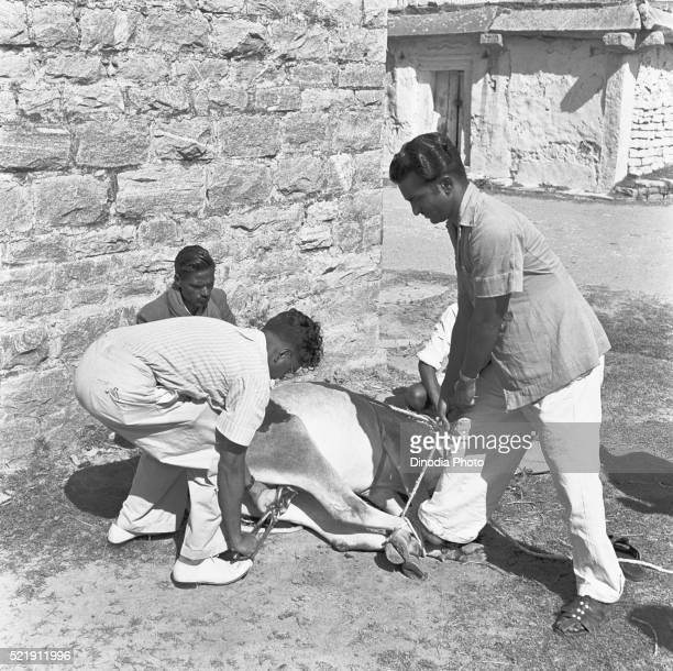 Veterinarians at work, preparing a bull for castration and inoculation, Bangalore, Karnataka, India
