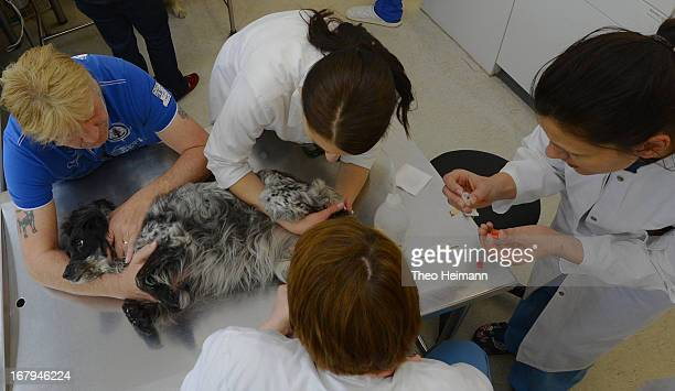 Veterinarians conduct a blood test on a cocker spaniel who is suffering from leukemia at the Dueppel animal clinic on April 29 2013 in Berlin Germany...