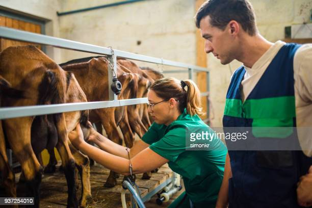 veterinarians examining goat udder - man milking woman stock photos and pictures