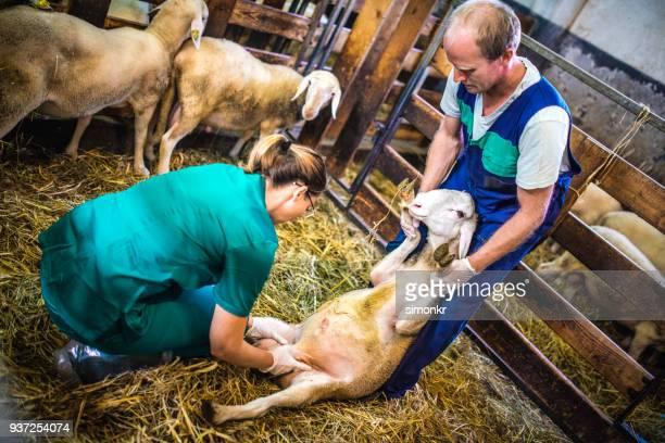 Veterinarians examining sheep in barn