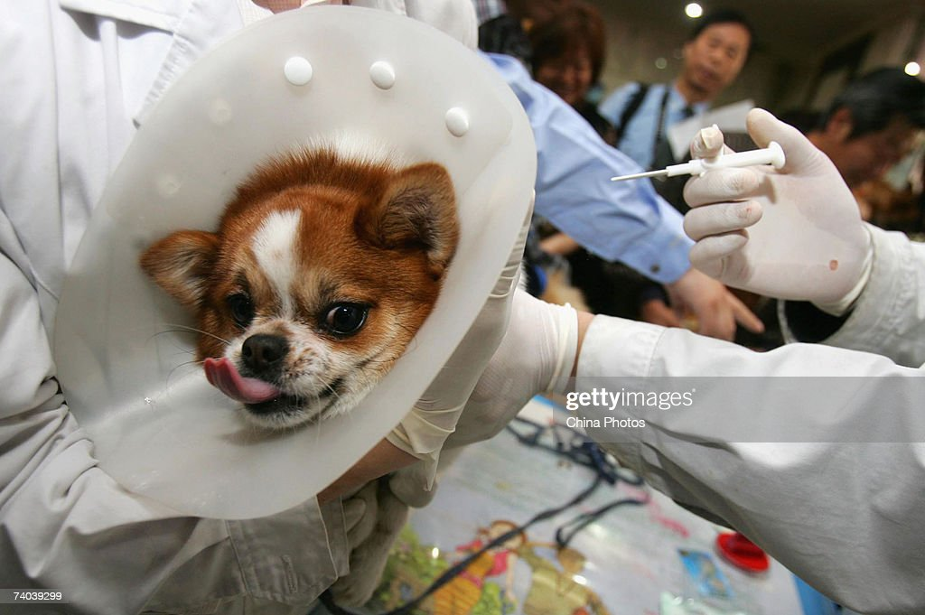 Veterinarians give a subcutaneous injection to a dog to