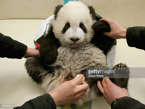 Veterinarians help fivemonthold giant panda Huamei I to evacuate its excrement at the Wolong Giant Panda Bear Research Center on January 19 2005 in...