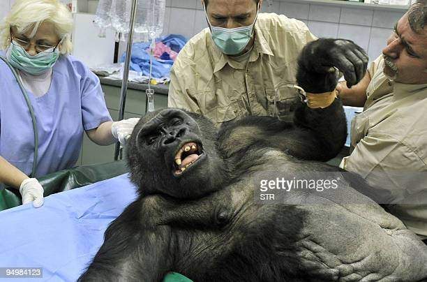 Veterinarians prepare the Budapest Zoo�s oldest gorilla Liesel ready for an operation in Budapest on January 15 2009 The surgery became necessary due...