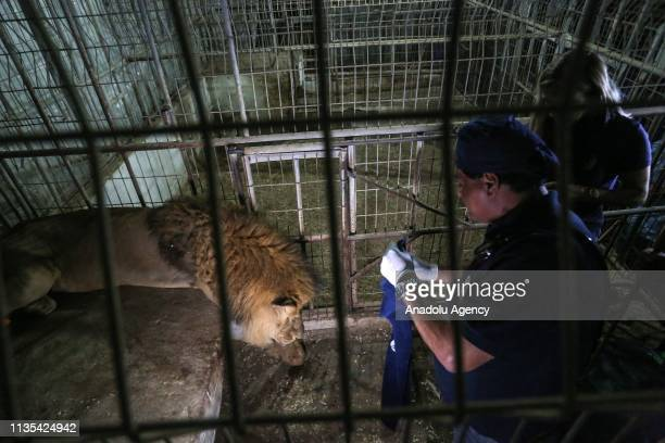 Veterinarians prepare to transfer the sedated lion at the Rafah Zoo in Rafah Gaza on April 06 2019 Gaza's only animal care practice faces a hard time...