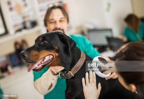 veterinarians scanning doberman's chip at animal hospital. - computer chip stock pictures, royalty-free photos & images