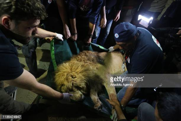 Veterinarians transfer a sedated lion at the Rafah Zoo in Rafah Gaza on April 06 2019 Gaza's only animal care practice faces a hard time due to...