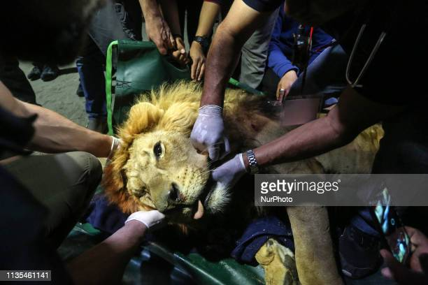 Veterinarians transfer a sedated lion at the Rafah Zoo in Rafah in the southern Gaza Strip on April 06 2019 Gaza's only animal care practice faces a...