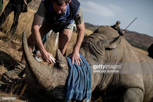 TOPSHOT A veterinary attends to a tranquilized Rhino to be microchipped during an operation of RHINO911 a nongovernmental organization on September...