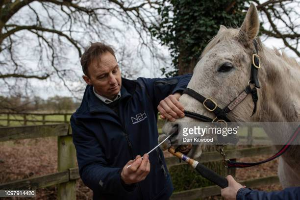 Veterinary Clinician Jeremy Allen swabs a Polo Pony to test for Equine Influenza on February 11 2019 in Newmarket England The sample will be sent to...