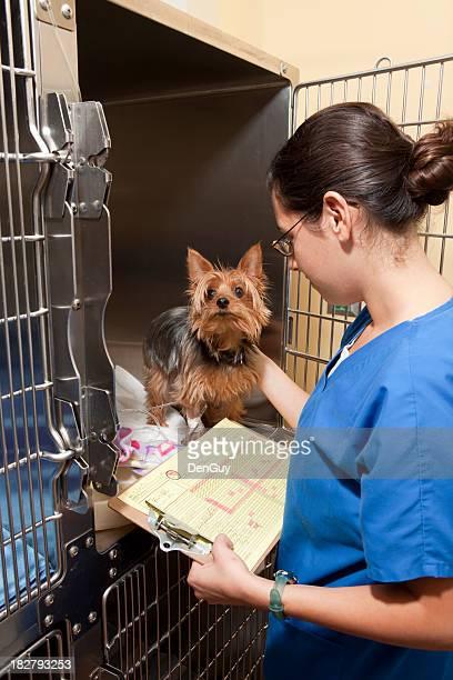 Veterinary Intensive Care Technician Exams Yorkie
