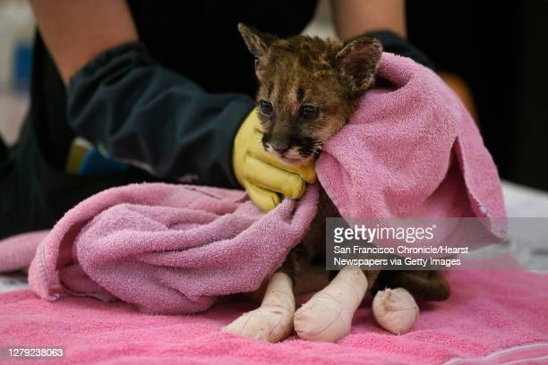 Veterinary technician Linden West steadies Captain Cal, a six-week old mountain lion cub, during an examination for severe burn injuries at the...