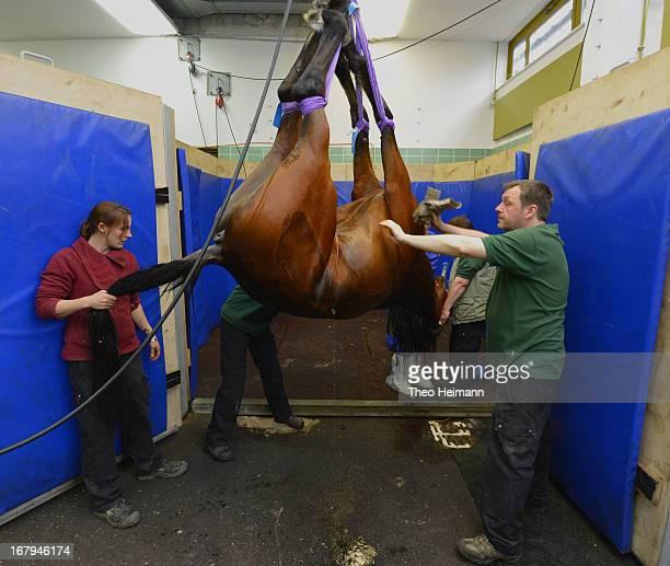 Veterinary technicians lower a horse into a recovery room following castration at the Dueppel animal clinic on April 25 2013 in Berlin Germany The...