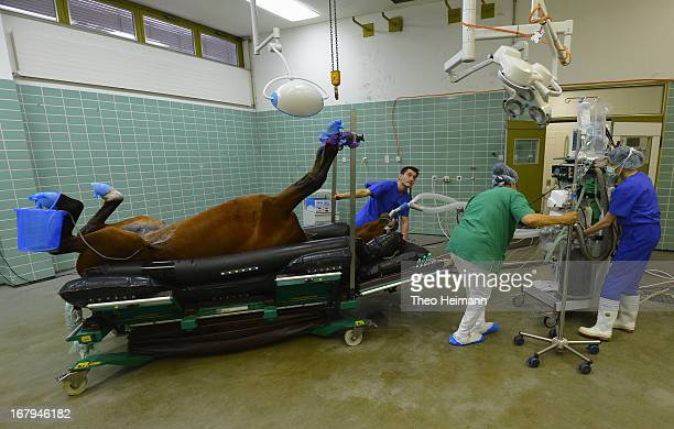 Veterinary technicians prepare a horse for castration at the Dueppel animal clinic on April 25 2013 in Berlin Germany The Dueppel clinic consists of...