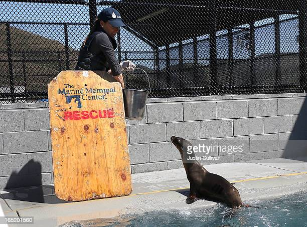 Vetrinary technician Sophie Guarasci prepares to feed California sea lion pups at the Marine Mammal Center on April 1 2013 in Sausalito California 30...