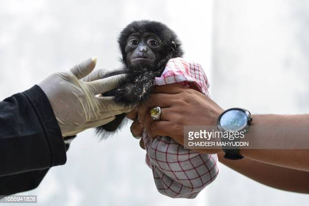 Vets check a baby siamang, or black-furred gibbon, rescued from a villager, at the local nature conservation agency's office in Banda Aceh, Aceh...