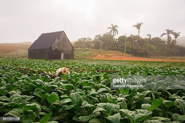 Viñales Valley, collecting tobacco