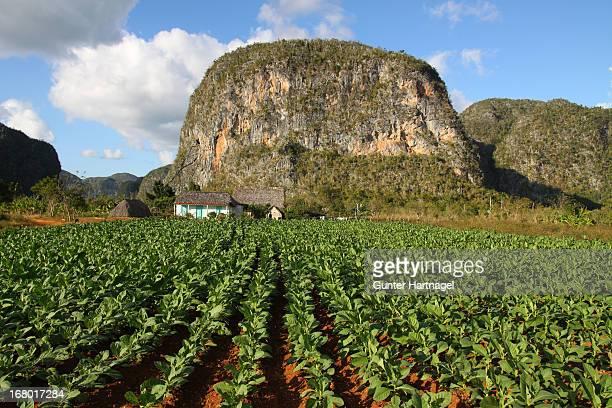 viñales valley, tobacco plantation - valle de vinales stock-fotos und bilder