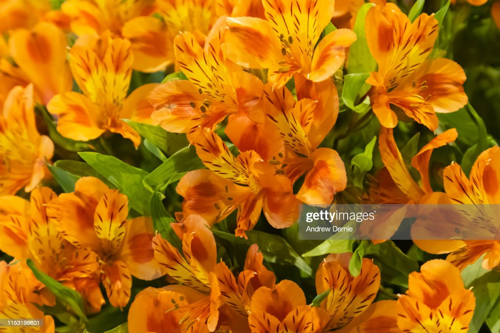 Vibrant Alstroemeria flowers, commonly called the Peruvian lily or lily of the Incas : Stock Photo