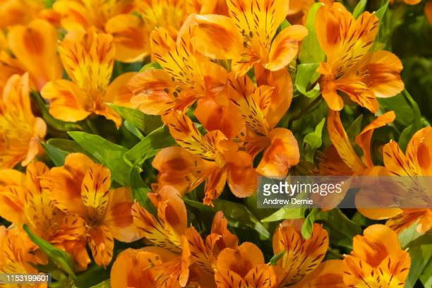vibrant alstroemeria flowers, commonly called the peruvian lily or lily of the incas - andrew dernie stock pictures, royalty-free photos & images